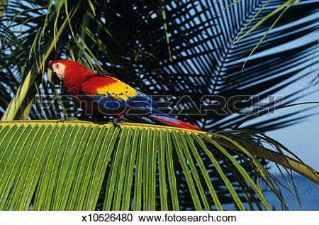Stock Photography of Scarlet macaw (Ara macao), Honduras x10526480.