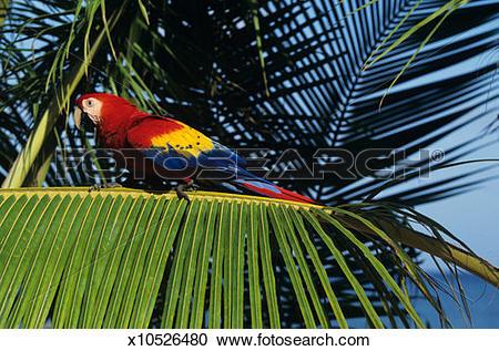 Stock Photography of Scarlet macaw (Ara macao), Honduras x10526480.