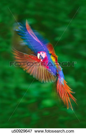 Picture of Scarlet macaw juvenile hovering, Ara macao, Tambopata.