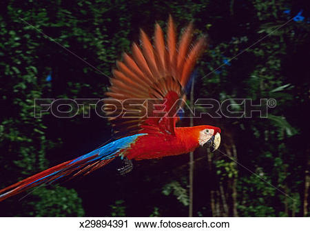 Stock Photography of Scarlet Macaw (Ara macao) in flight, close.