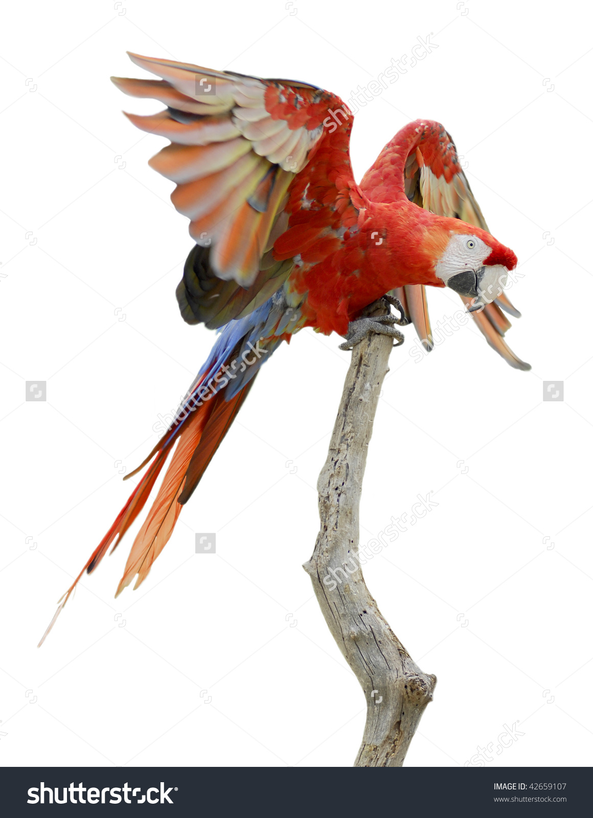 Scarlet Macaw (Ara Macao) On Wood Perch Outspread Wings Isolated.