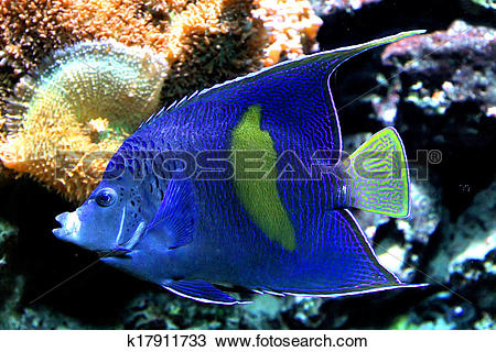 Stock Photo of Arabian angelfish k17911733.