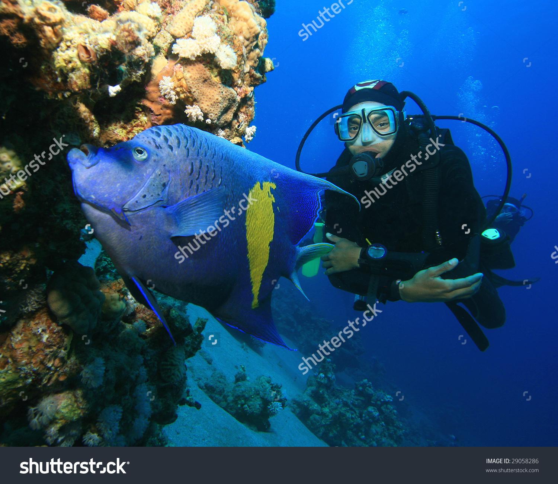 Yellowbar (Arabian) Angelfish And Scuba Diver Stock Photo 29058286.