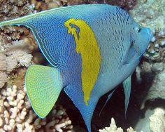 Freshwater angelfish.