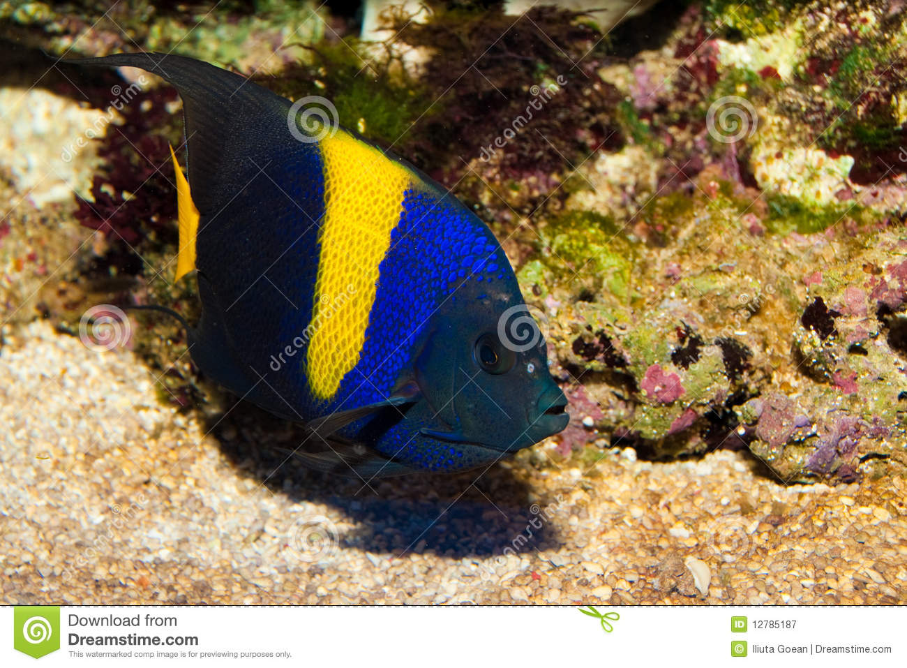 Asfur Angelfish (Pomacanthus Asfur) In Aquarium Royalty Free Stock.