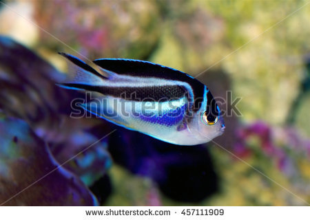 Juvenile Angelfish Stock Photos, Royalty.