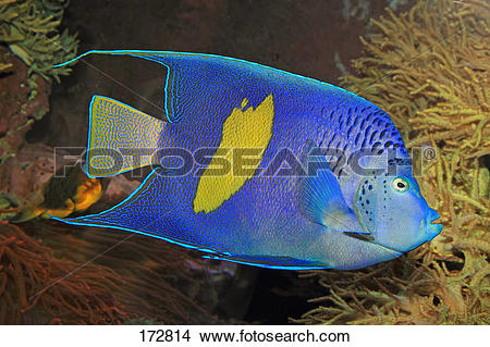 Stock Photo of Arabian Angelfish (Pomacanthus asfur) 172814.