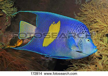 Stock Photo of Arabian Angelfish (Pomacanthus asfur) 172814.