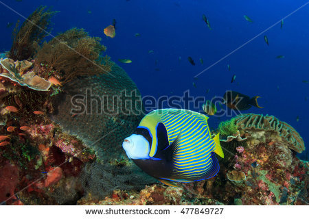 Angelfishes Stock Photos, Royalty.