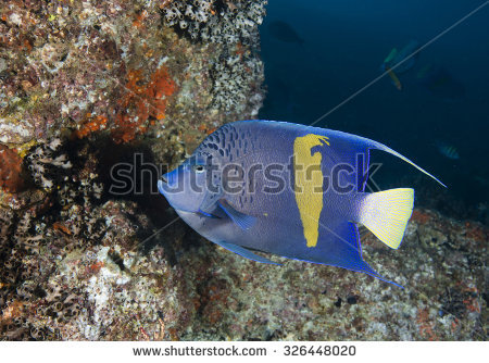 Arabian Angelfish Stock Photos, Royalty.