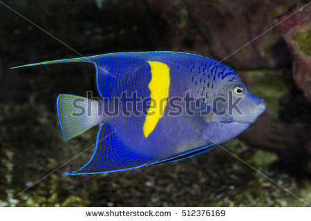 Angelfish Stock Photos, Royalty.