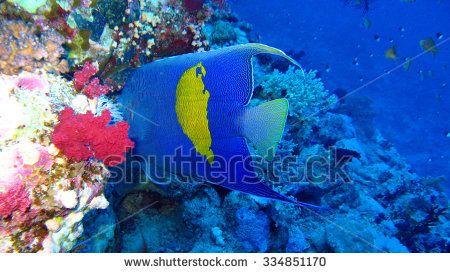 Arabian Angelfish Stock Photos, Royalty.