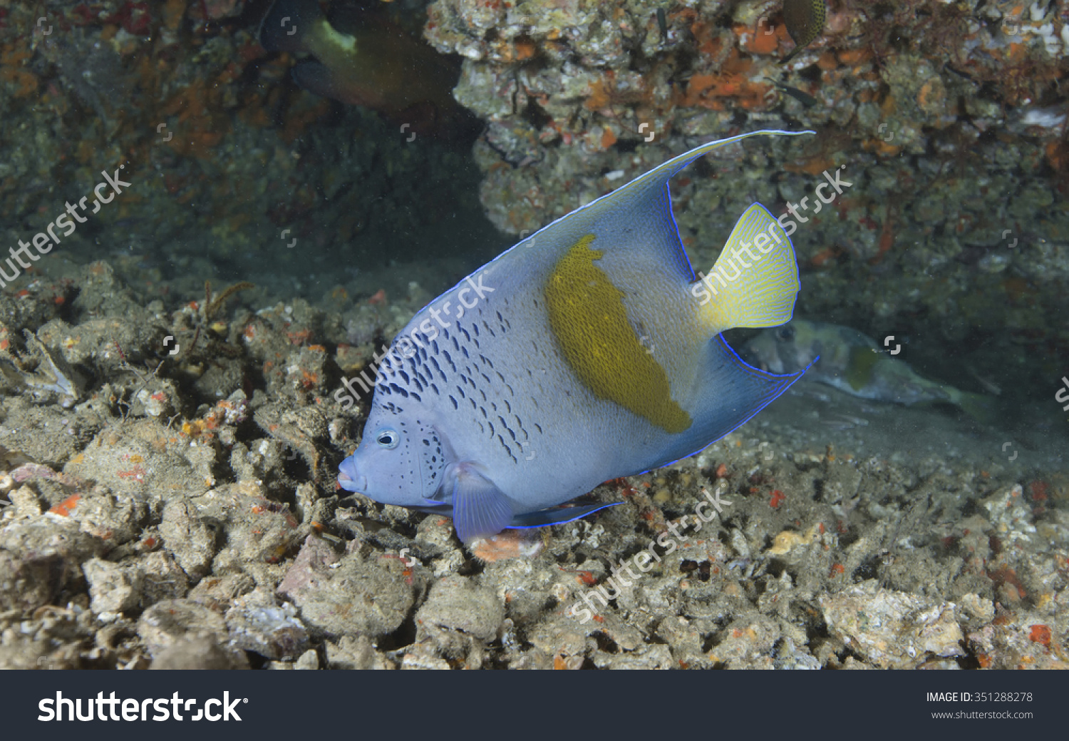 A Single Arabian Angelfish (Pomacanthus Asfur) Tropical Fish.