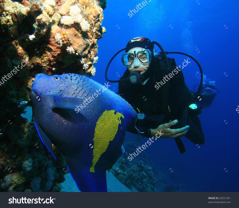 Arabian Angelfish Pomacanthus Maculosus Scuba Diver Stock Photo.