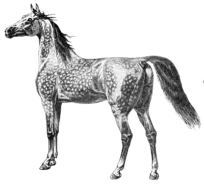 Free Arabian Horse Clipart, 1 page of Public Domain Clip Art.