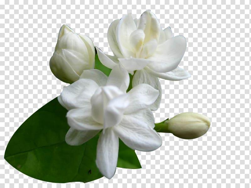 White stephanotis flowers in bloom, Arabian jasmine Cape.