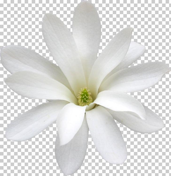 Cape jasmine White Arabian jasmine Flower Petal, flower PNG.