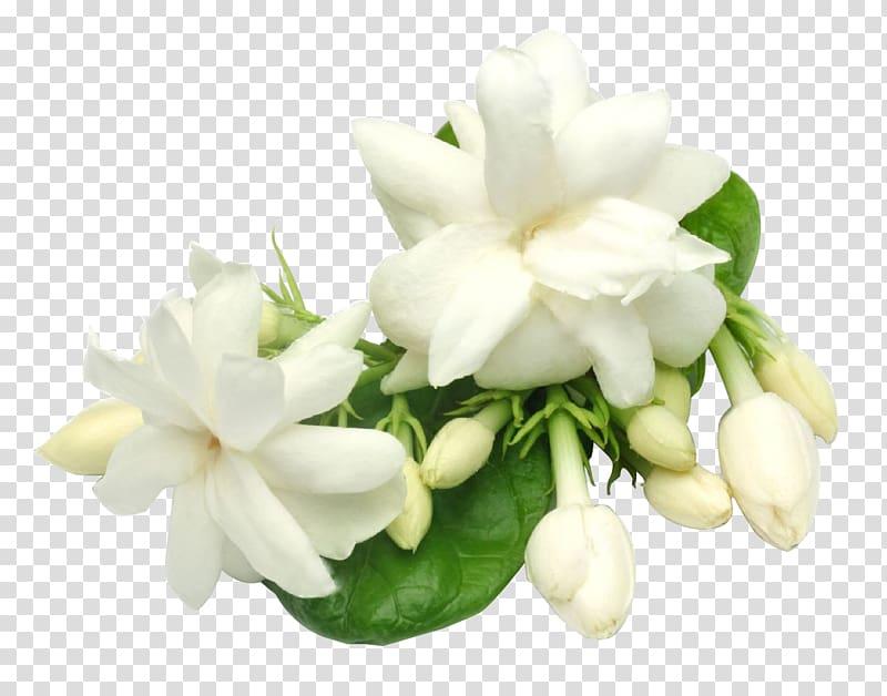 White jasmine flowers illustration, Arabian jasmine Plant.