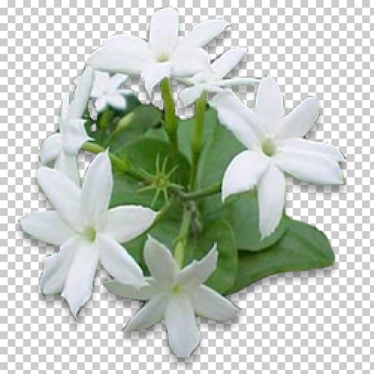 Arabian jasmine Flower Night.