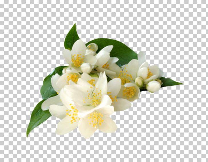 Arabian Jasmine Jasminum Grandiflorum Jasminum Polyanthum.