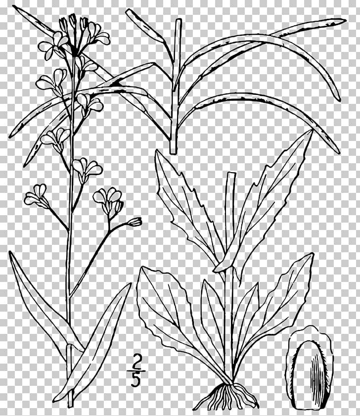 Arabis Plant Arabidopsis Boechera laevigata, plant PNG.