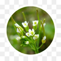 Arabidopsis Thaliana PNG and Arabidopsis Thaliana.