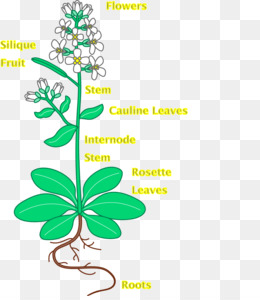 Arabidopsis PNG and Arabidopsis Transparent Clipart Free.