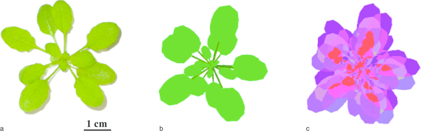 a) Photograph of an Arabidopsis thaliana plant, (b) its 3D.