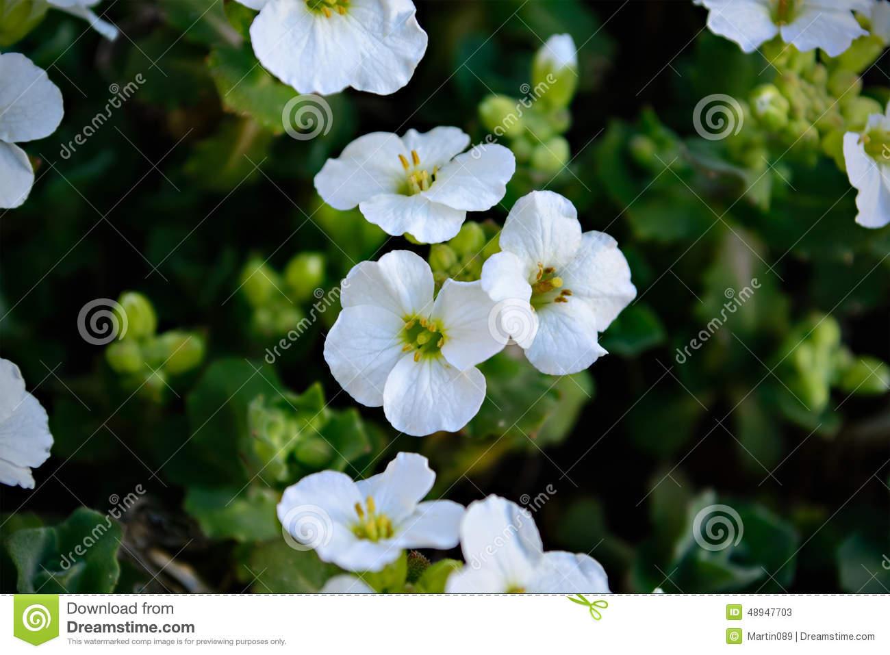 Arabis Caucasica Flower Stock Photo.
