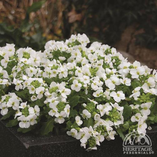 Plant Profile for Arabis caucasica 'Lotti White'.