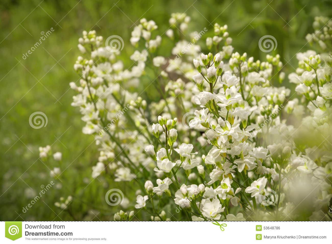 White Arabis Caucasica Flowers Stock Photo.