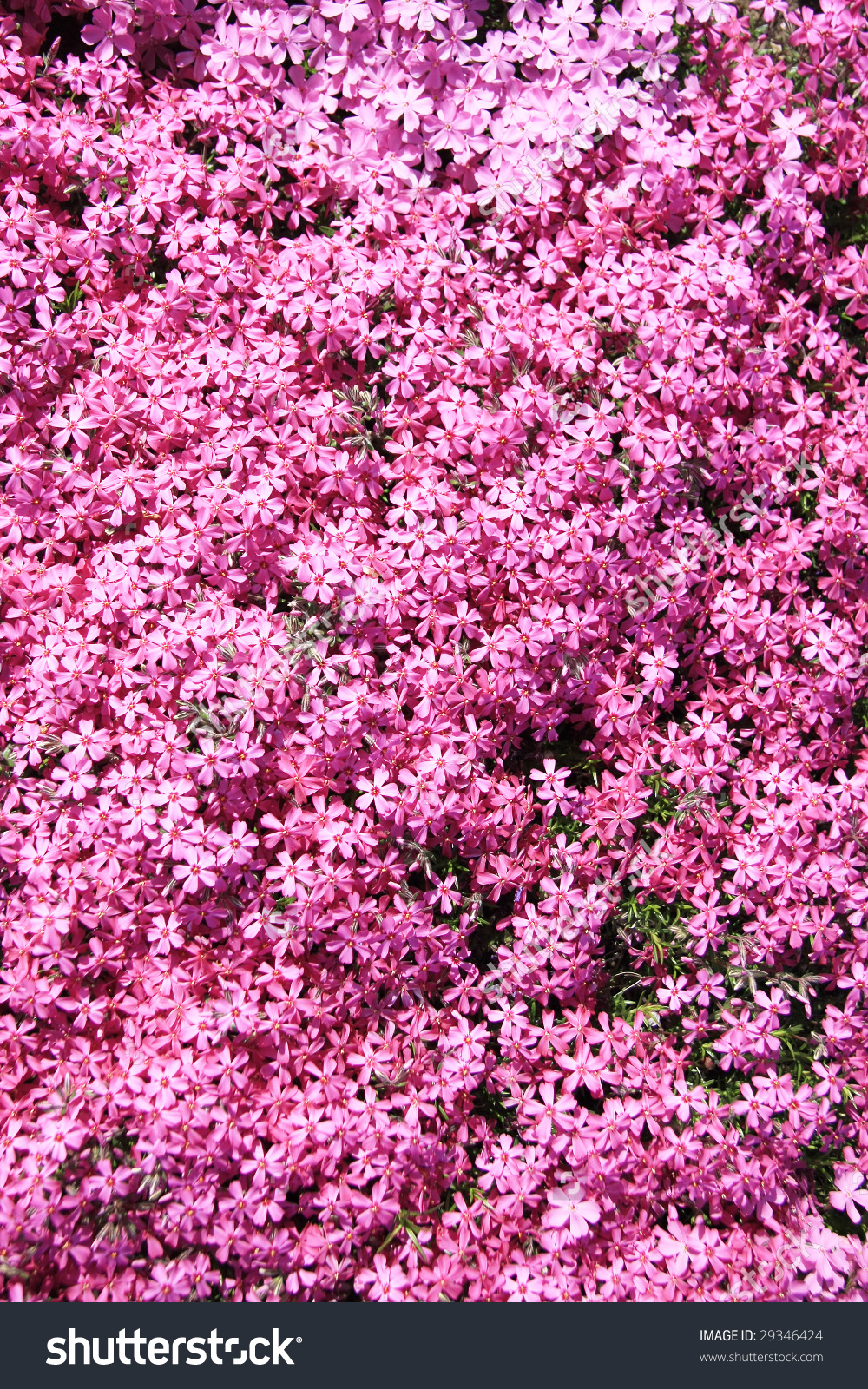 Background Of Pink Arabis Perennial Flowers. Stock Photo 29346424.