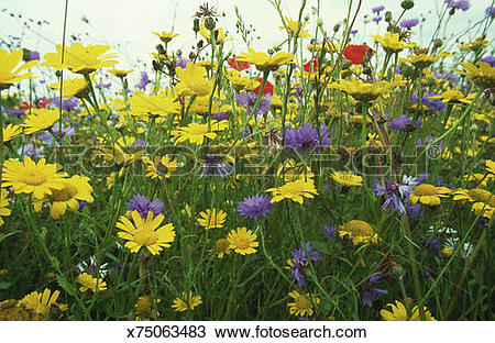 Stock Photo of arable weeds: corn marigold, poppy, cornflower.