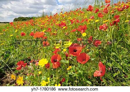 Stock Images of Poppies, papaver rhoeas, and corn marigold.