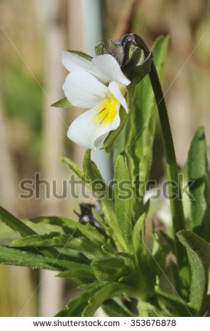 Viola Arvensis Stock Photos, Royalty.