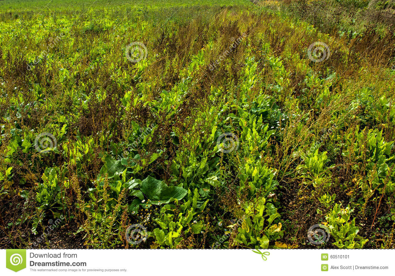Arable Crop Choked With Weeds Stock Photo.