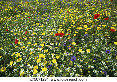Stock Photo of arable weeds: corn marigold, cornflower, poppy.