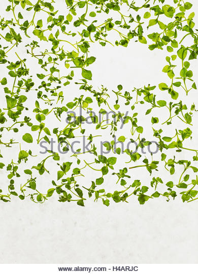 Chickweed (stellaria Media) Stock Photos & Chickweed (stellaria.