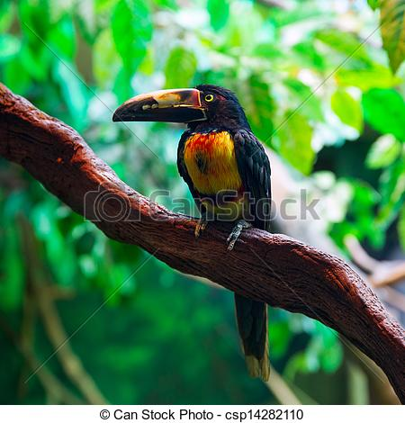 Stock Photography of Collared Aracari Agarrado Pteroglossus.