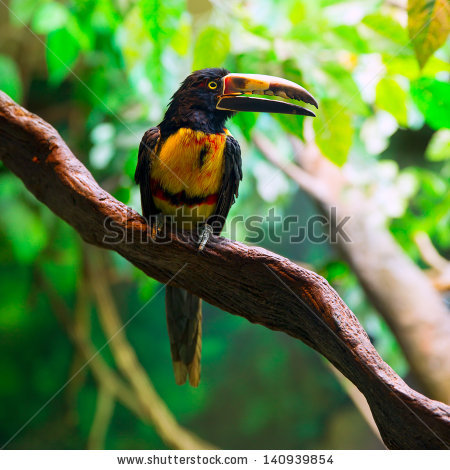 Aracari Toucan Stock Photos, Royalty.