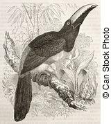 Aracari Illustrations and Clipart. 6 Aracari royalty free.