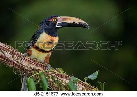 Picture of Collared Aracari, Toucan, Pteroglossus torquatus.