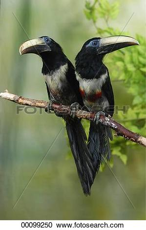 Stock Photography of Brazil, Juniors, animal, animals, aracari.