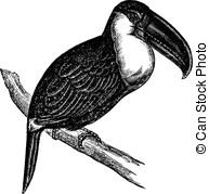 Aracari Illustrations and Clipart. 6 Aracari royalty free.