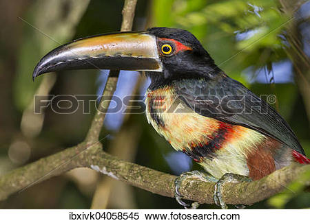 "Stock Image of ""Collared Aracari (Pteroglossus torquatus), Costa."