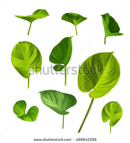 Araceae Stock Photos, Royalty.