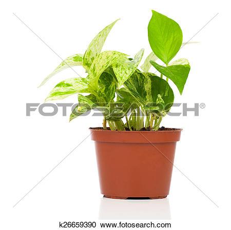 Stock Photography of Epipremnum aureum (family Araceae) plant in.