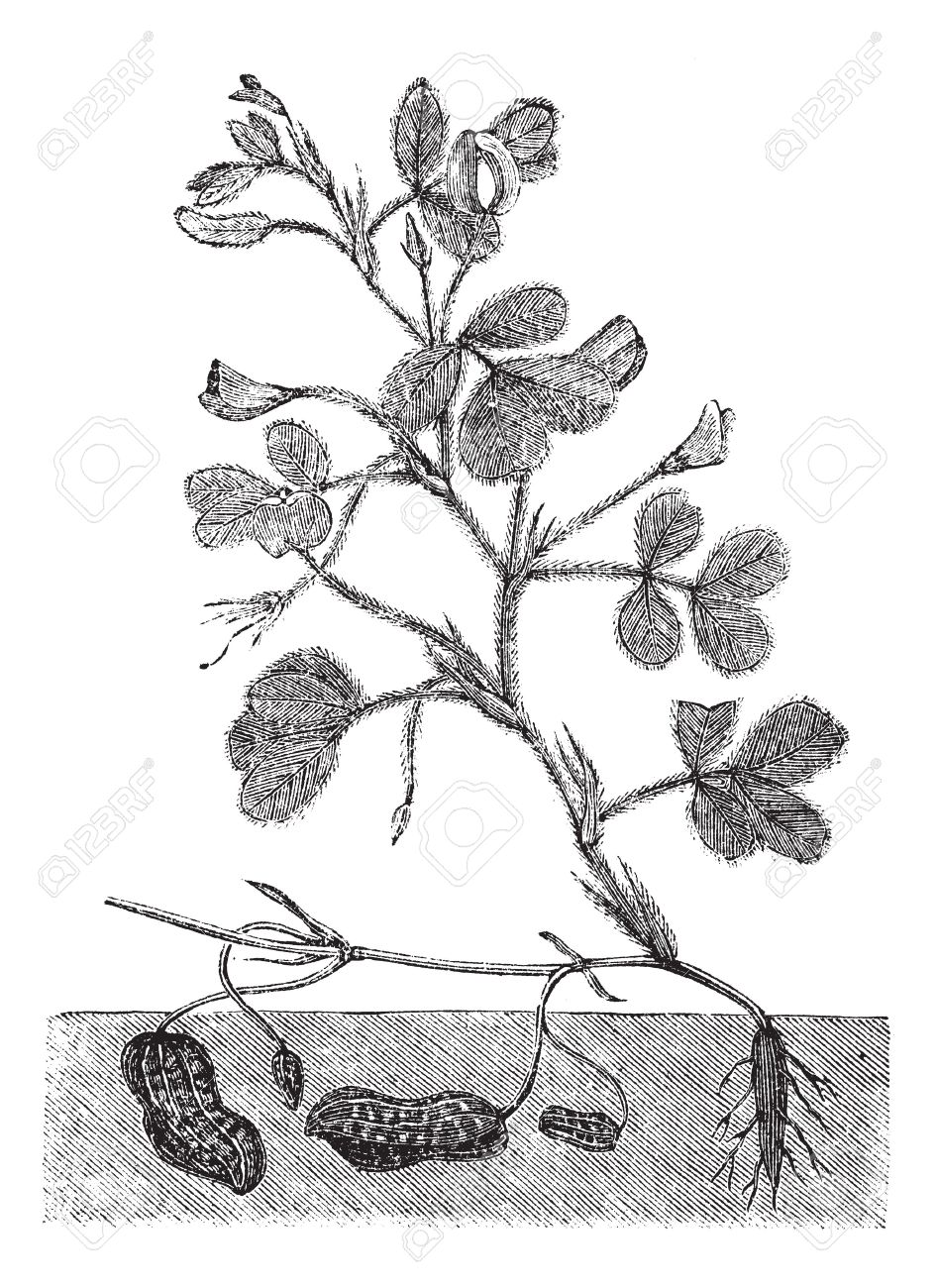 Peanut Or Groundnut Or Arachis Hypogea Vintage Engraving. Old.