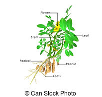 Arachis hypogaea Illustrations and Clipart. 37 Arachis hypogaea.