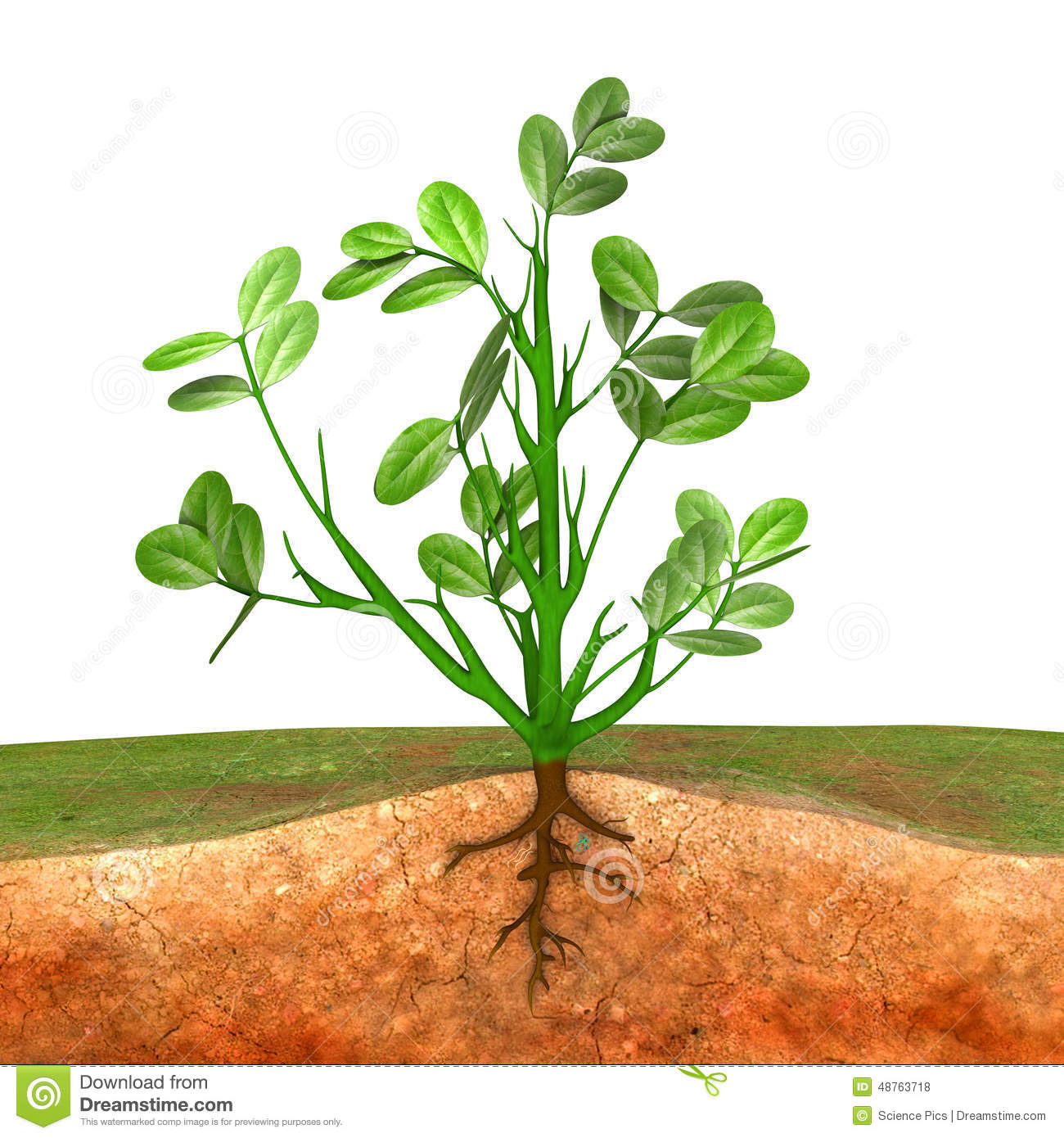 Groundnut Plant Stock Illustration.